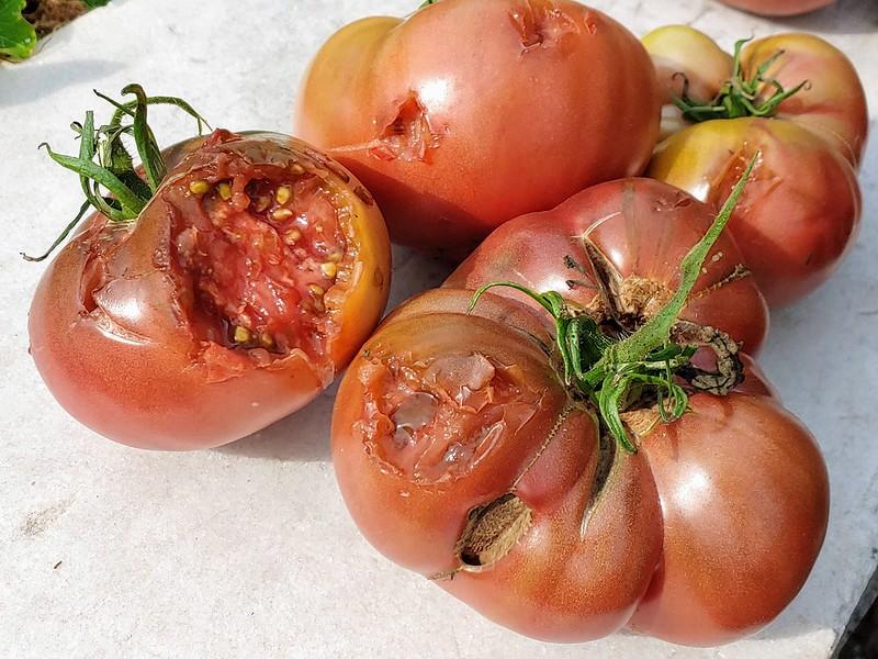 ?Bird? Tomato Massacre