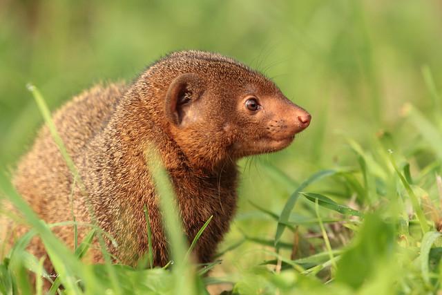 Common dwarf mongoose   1