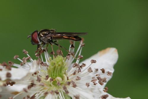 insect diptera fly syrphidae syrphinae platycheirus northcarolina roanmountain canonef100mmf28macrousm fridayflyday inaturalist platycheirusobscurus