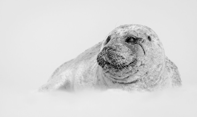 Common Seal. (Explored)
