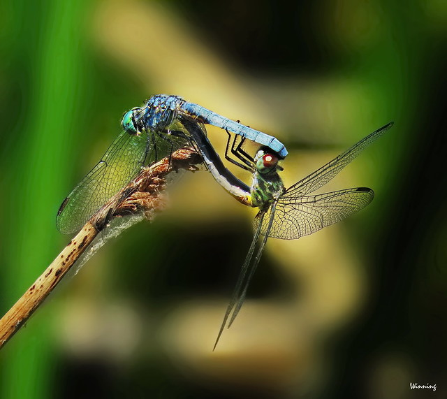 Blue Darners Mating 0435