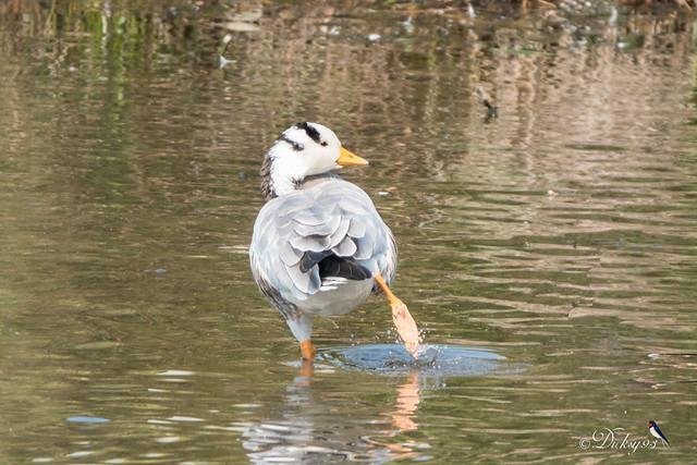 Oie à tête barrée (Anser indicus)