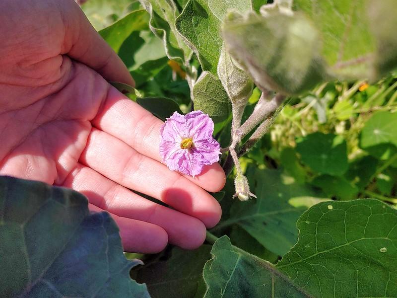 Italian Eggplant - Flower!