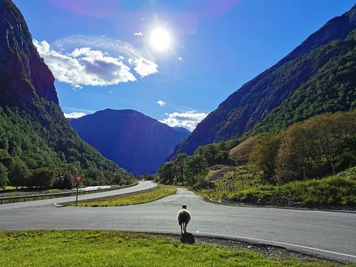 sheep norway road sun nature landscape mountain