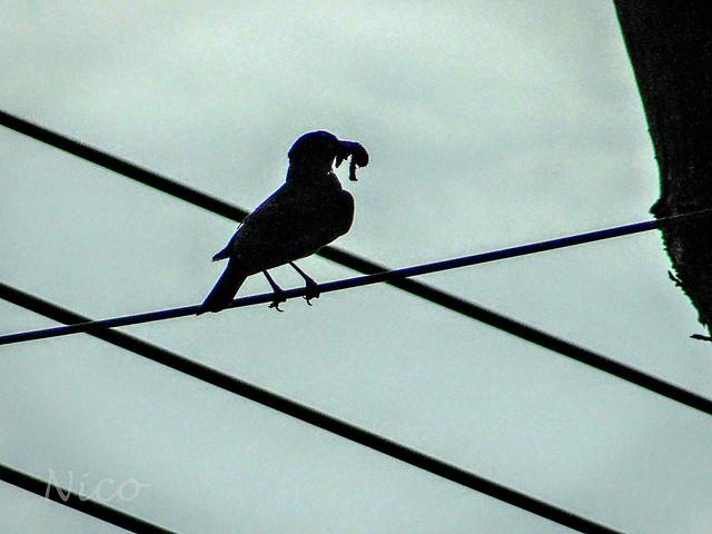 Bird silhouette with snail in beak DSC05336  Silhouette d'oiseau avec escargot en bec