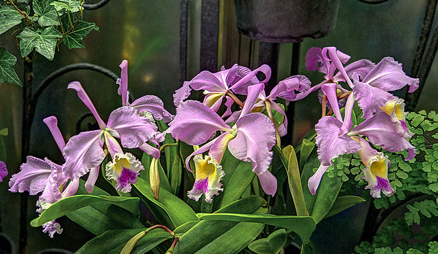 Orchids (Cattleya Beaumesnil 'Parme')