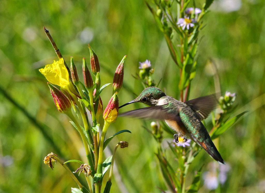 Broad-tailed Hummingbird (Selasphorus platycercus) feeding on Hooker's Evening Primroses (Oenothera elata).  Sandia Mountains, New Mexico, USA.