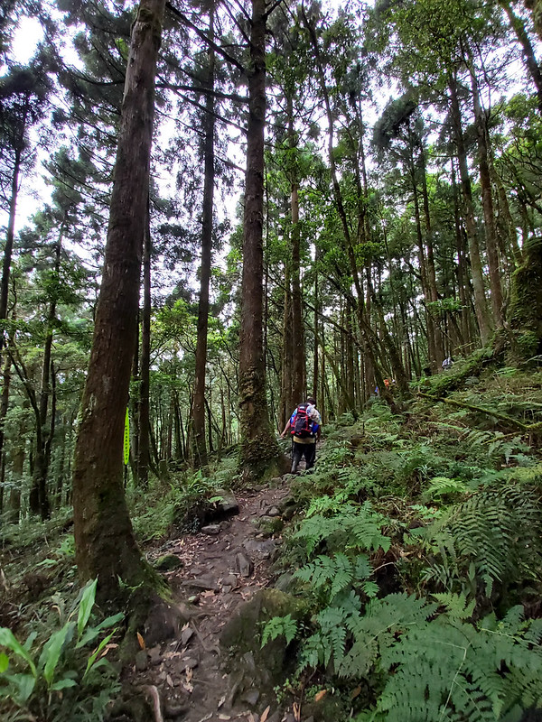 Songluo Lake: beautiful tall trees on the trail