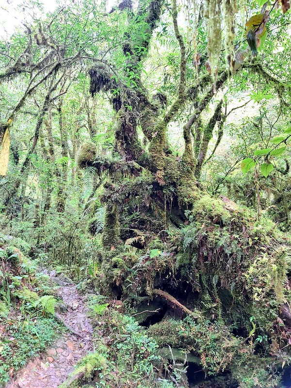 Songluo Lake: trees covered by ferns and usnea
