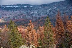 Die off in the Sierra_Dec.15_Margot Wholey