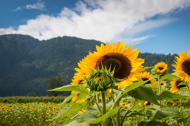 Chilliwack Sunflower Festival 2020