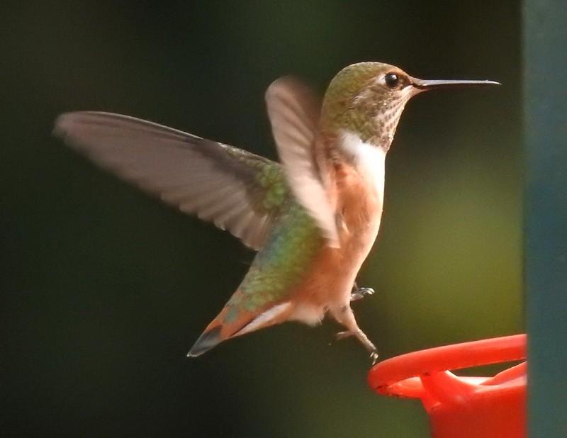 Rufous Hummingbird 9/11/20b
