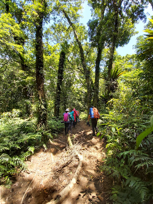 Songluo Lake: trail with big tall trees and muddy terrains