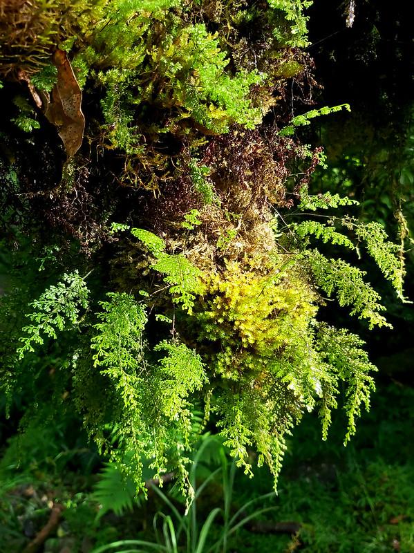Songluo Lake: ferns hanging on the tree near River Nanshi