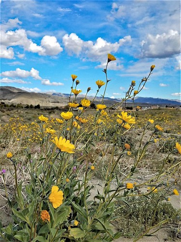 flowers spring nature color desert landscape photography yellow poppies sky california serenity renew palmdesert living wildflowers beautiful earth alive