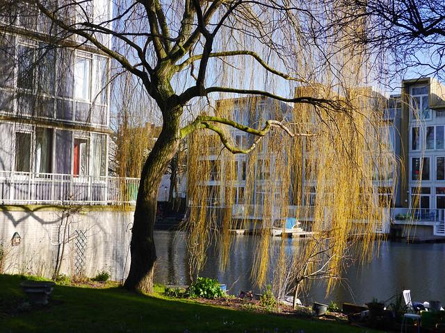 Willow tree in sunlight of early urban Spring - free photos Amsterdam, Fons Heijnsbroek