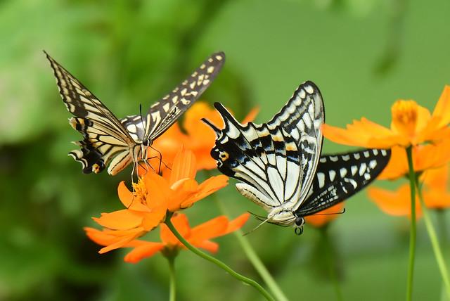 Swallowtail butterflies: display flight (2)