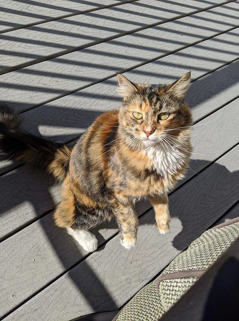 UPDATE!!! FOUND dsh torti cat in #tuscany. Enroute to VCA Canada Calgary North Animal Hosp, 4204 4 St NW, 403-277-0135. Pls rt, share, watch, help kitty get home. FOUND - this friendly little female tortie is currently hunting voles in my backyard. Not in