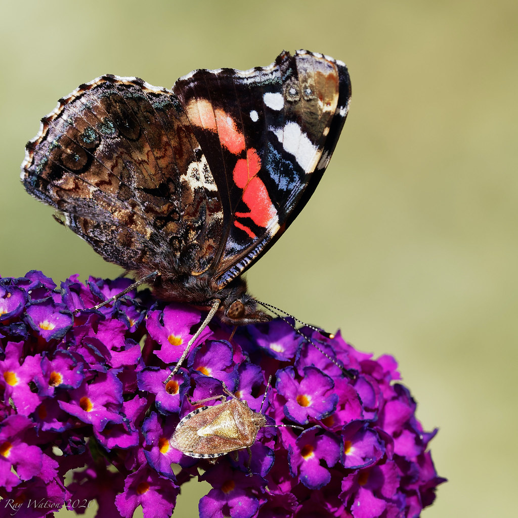 Red Admiral and Shield Bug