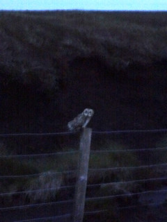 short-eared owl, just metres away from my tent