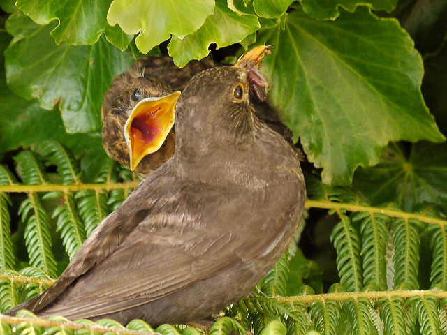 Blackbird Mother and Chick
