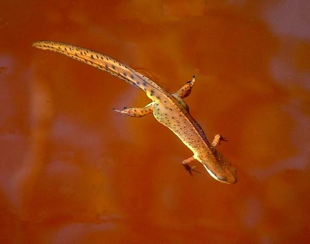 Newt Swimming II