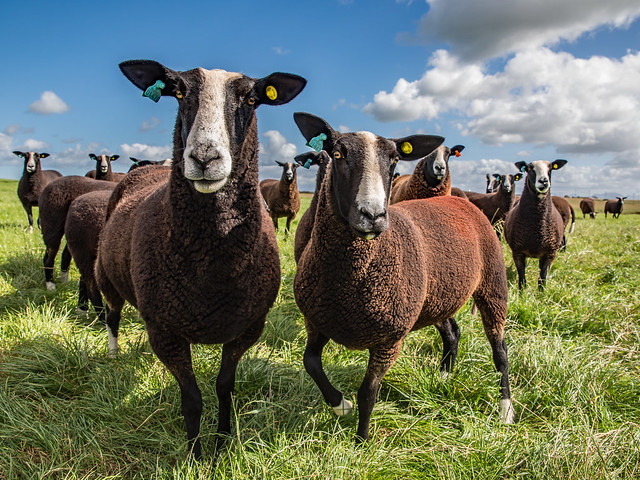 Zwartble Sheep on Anglesea