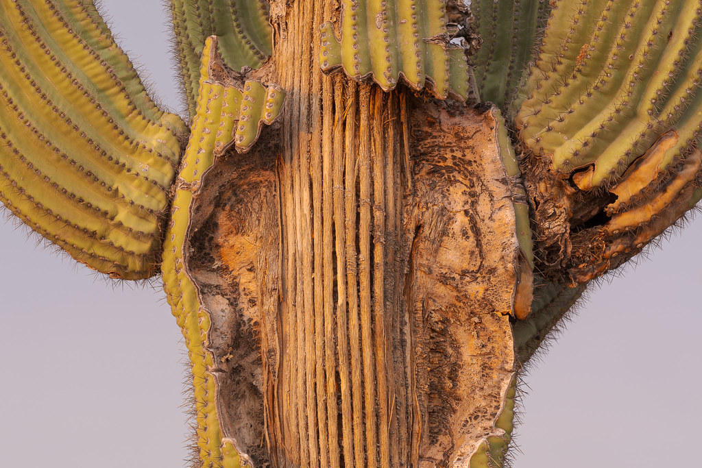 A close-up of the damaged part of an old saguaro in the first light of day, taken on the Chuckwagon Trail in McDowell Sonoran Preserve in Scottsdale, Arizona on August 2, 2020. Original: _RAC5129.arw