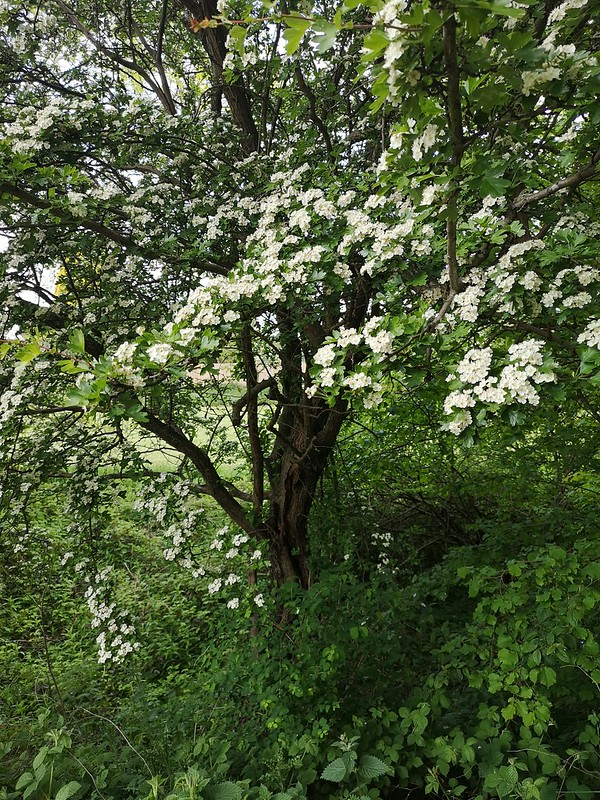 An image of a hawthorn in bloom.