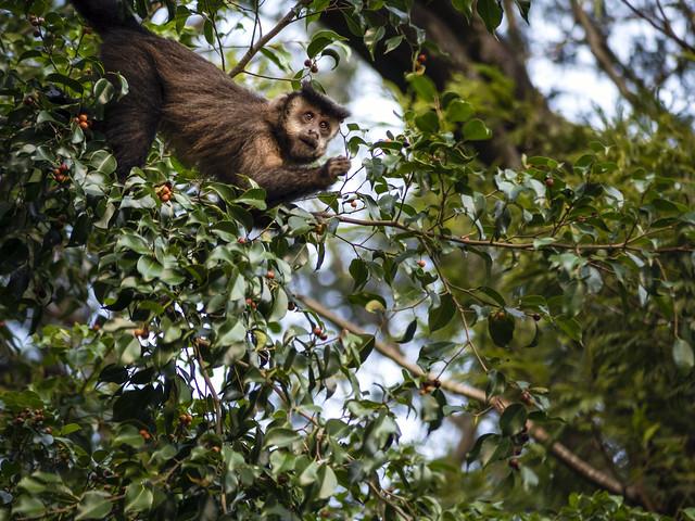 Capuchin / Prego
