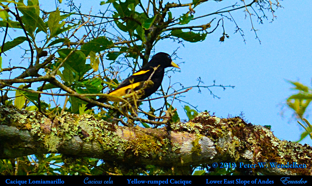YELLOW-RUMPED CACIQUE Cacicus cela on the Eastern Slope of Andes in ECUADOR. Photo by Peter Wendelken.