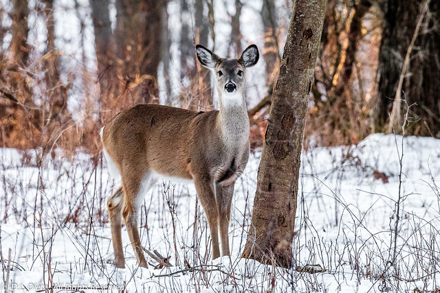 White-Tailed Deer #4 - 2020-02-22.