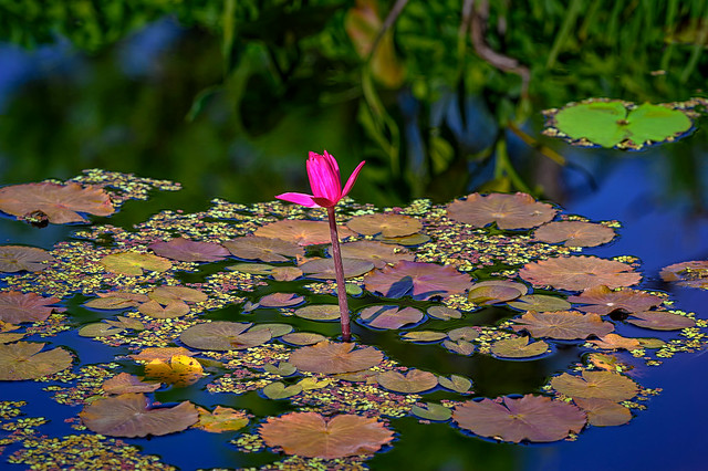Single Pink water lily and lily pads at Naples Botanical Garden, Naples, Florida