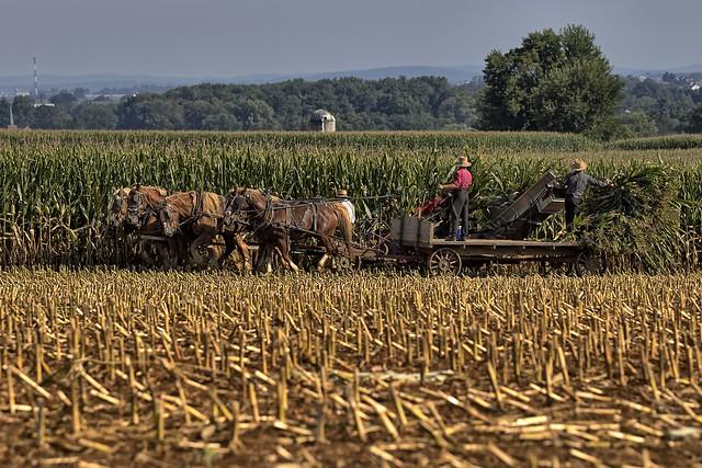 Cutting the corn.