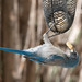 scrub_jay_at_feeder-20200912-129