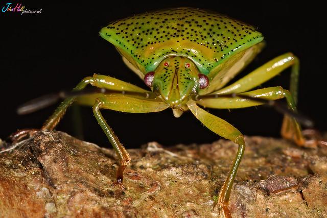 A tree bug