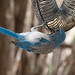scrub_jay_at_feeder-20200912-123