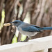 scrub_jay_at_feeder-20200912-138