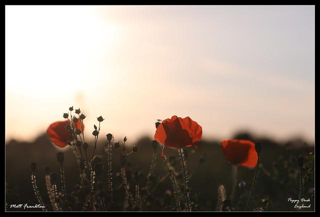 poppy-dusk-england-poppies