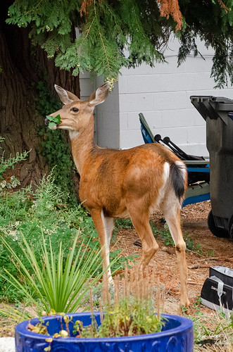 Doe Wandering Neighborhood Amidst Wildfire Smoke (Fall 2020)