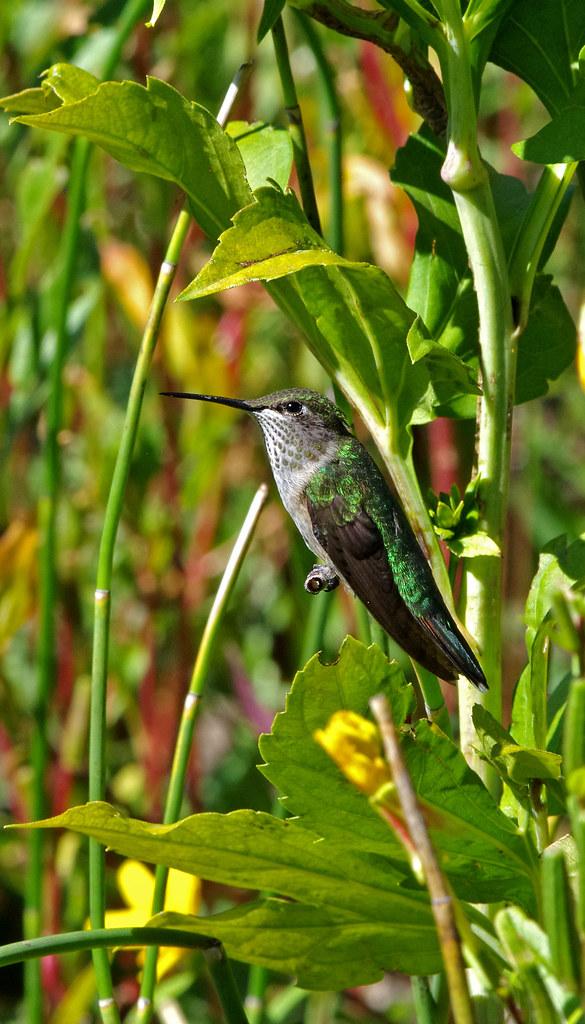 Broad-tailed Hummingbird (Selasphorus platycercus).  Sandia Mountains, New Mexico, USA.