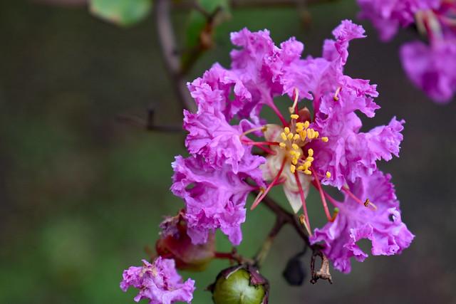 Purple Crape Myrtle Blossoms.