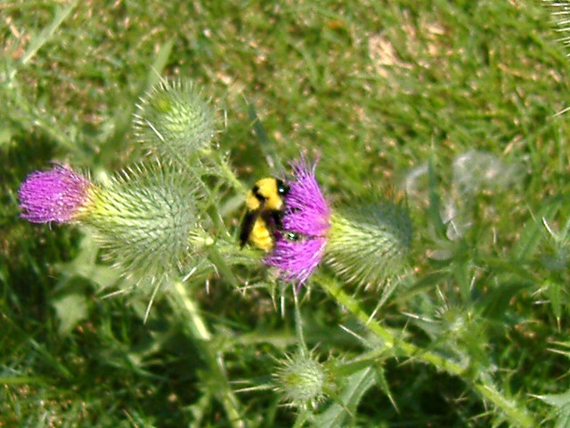 giant bumblebee on thistle #2