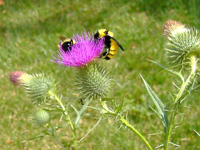 Giant bumblebee on thistle #1