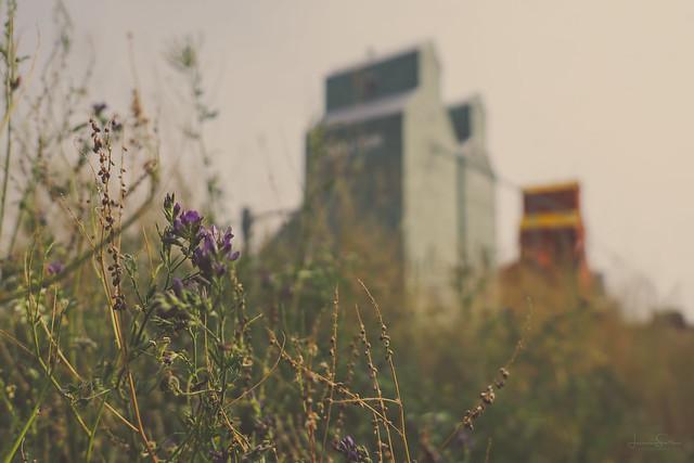 Nanton, in the weeds