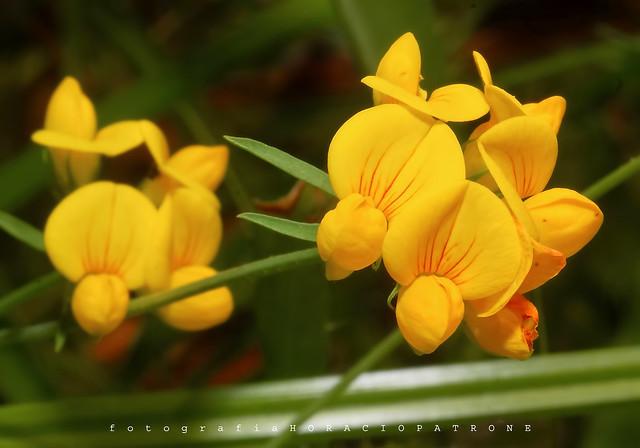 FLOR CORONA DEL REY ..(Lotus-corniculatus ) toma en reserva ecologicaCostanera Sur. RECS. - ARGENTINA.