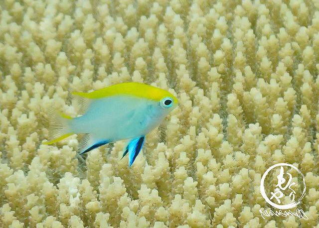 色がとーってもキレイなクロメガネスズメダイ幼魚。