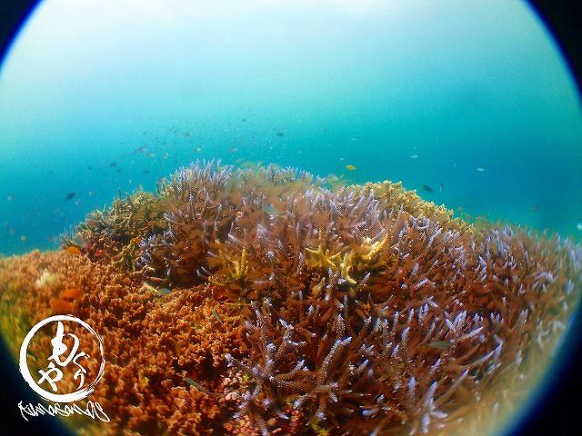 サンゴの間を埋めるかのようにテンジクダイたちがびっしり(^^♪