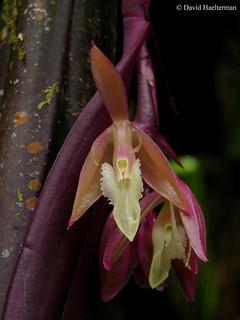 Epidendrum filamentosum (synonym Epidendrum rostratum) flowering in situ in Farallones de Cali's super biodiverse region, Valle del Cauca department, Colombia