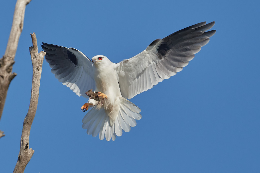 Black-shouldered Kite: Landing Procedure